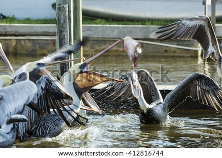 Group of pelicans fighting for fish at the pier. All Pelicans are on the move, catch a fish thrown. - stock photo
