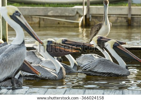 Group of pelicans waiting for fish at the pier. Selective focused. Florida - stock photo