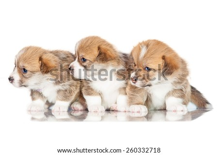 Group of pembroke welsh corgi puppies looking on the right