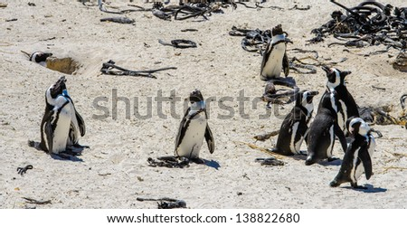 Group of penguins walk over the sand