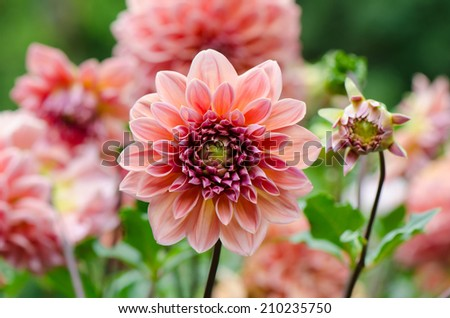 Group of pink Dahlia flowers in the garden. - stock photo