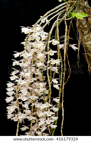Group of pink Dendrobium aphyllum orchid flower on black background - stock photo