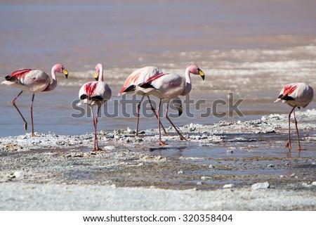 Group of pink flamingos standing on a lake close to the Eduardo Avaroa National Park in Bolivia - stock photo