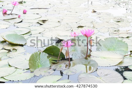 group of pink lotus  flower and pads