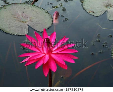 Group of pink lotus or pink water lily in pond.