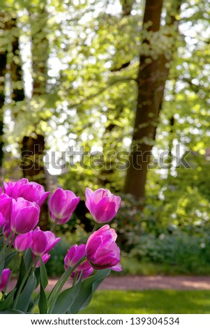 Group of pink tulips on a background of forest. Spring landscape. - stock photo