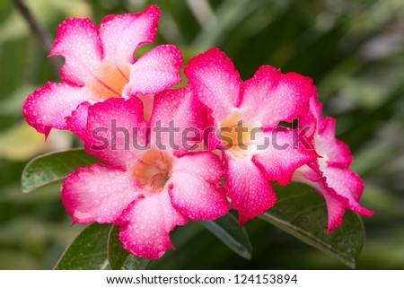 group of pink-white impala lily - stock photo