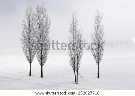 Group of poplar trees in soft,tranquil and snowy environment in winter time - stock photo