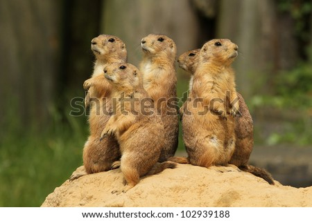 Group of prairie dogs standing upright - stock photo