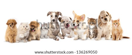 Group of Puppies and  kitten of different breeds, cat and dog - stock photo