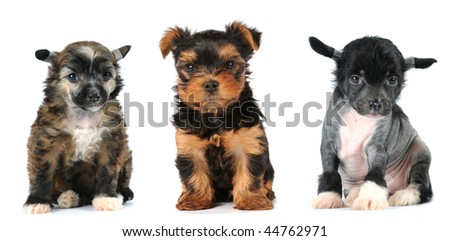 Group of puppies lap dogs breed isolated on white: crested chinese dog baled and powderpuff, yorkshire terrier.
