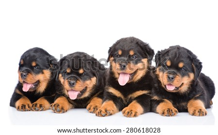 Group of puppies Rottweiler lying together in front view. Isolated on white background - stock photo