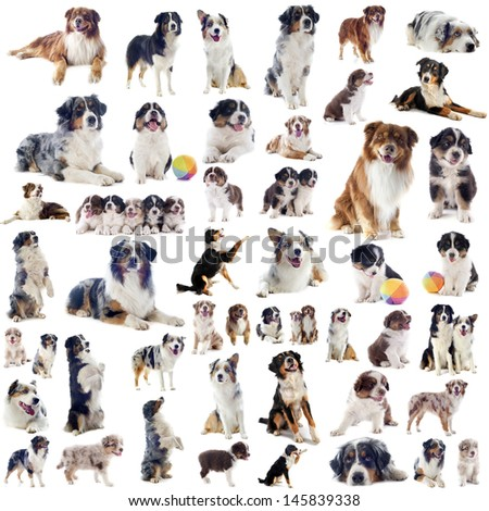 group of purebred australian shepherd  in front of white background