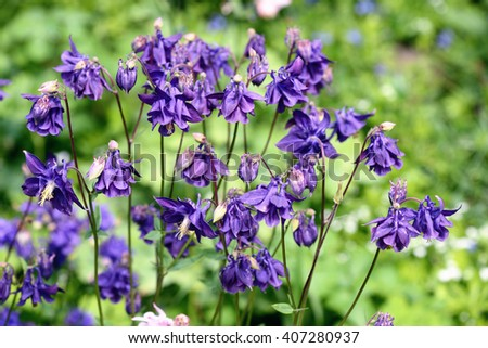 columbine flowers stock images, royaltyfree images  vectors, Beautiful flower