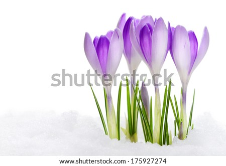 Group of purple crocuses - stock photo