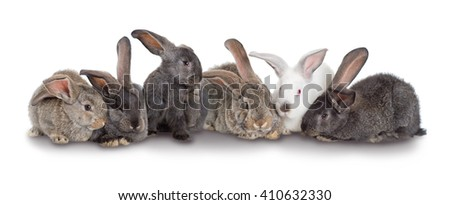 Group of rabbits, Flemish Giant is a breed of domestic rabbit on white background. A series of images