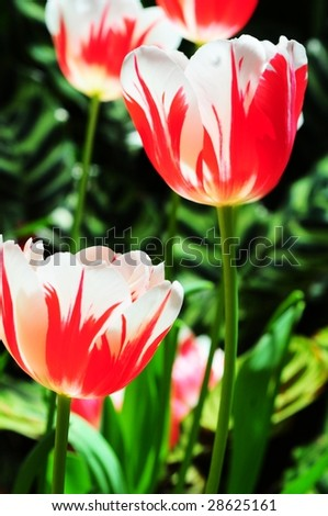 Group of red and white striped tulips