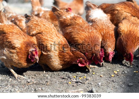 group of red, farm chickens eating corn in the countryside