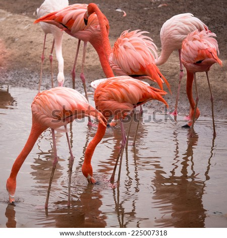 Group of red flamingo searches for food in the water - stock photo