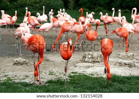Group of red flamingos - stock photo