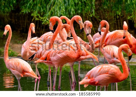 Group of red flamingos at the water, with green foliage in the background - stock photo