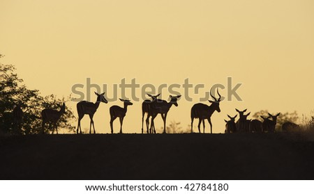 Group of red impala (Aepyceros melampus) standing on the road in the nature reserve at sunset in South Africa - stock photo