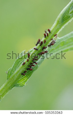 group of red plant-louse sucking plant stalk