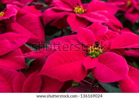 Group of red poinsettia plants