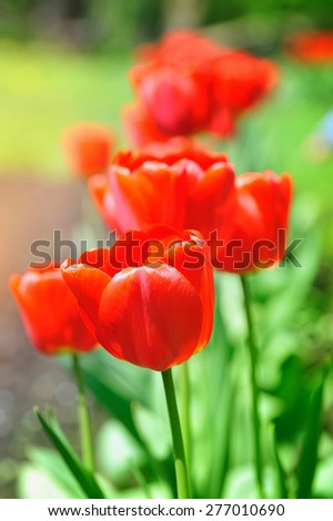 Group of red tulips in the park - stock photo