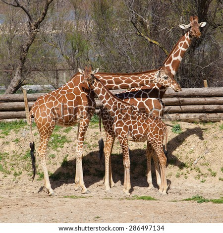 Group of reticulated giraffes (Giraffa cameopardalis reticulata). - stock photo