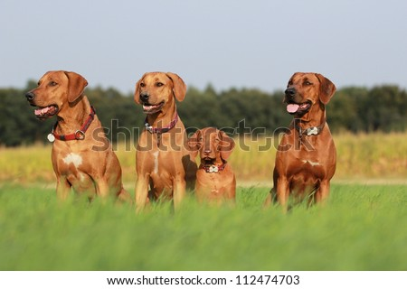 Group of rhodesian ridgeback dogs in grass