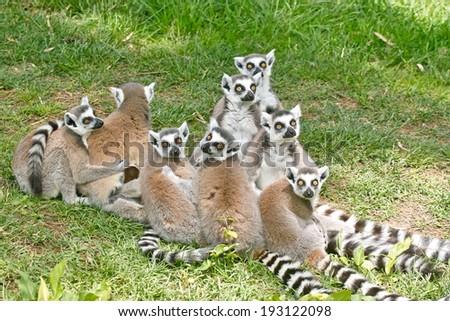 group of ring-tailed lemurs, lemur catta - stock photo