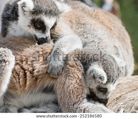 Group of Ring-tailed lemurs (Lemur catta) resting on the tree trunk. Lemurs playing. - stock photo