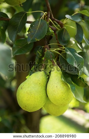 Group of ripe healthy yellow and green pears growing on the branch of a pear tree, in a genuine organic orchard