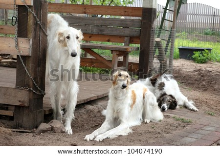 Group of Russian borzoi, greyhound dogs resting. Outdoor shoot - stock photo
