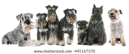 group of Schnauzer in front of white background