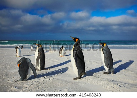 Group of sea birds. Group of King penguins, Aptenodytes patagonicus, going from white sand to sea, Arctic animals in the nature habitat, dark blue sky with white sand beach Falkland Islands - stock photo