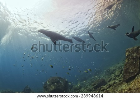 group of sea lion seal coming to you to have fun and play - stock photo