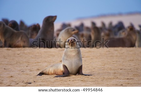 Group of sea lions basking in the sun on the beach in South Africa