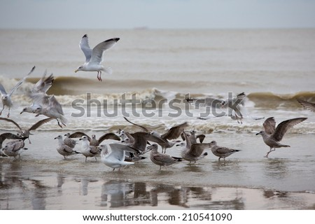 Group of Seabirds resting on the beach of Zeebrugge near Ostende on the Belgian coast - stock photo