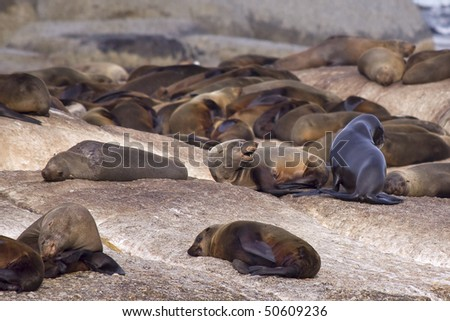Group of seals resting on a rocky island. - stock photo
