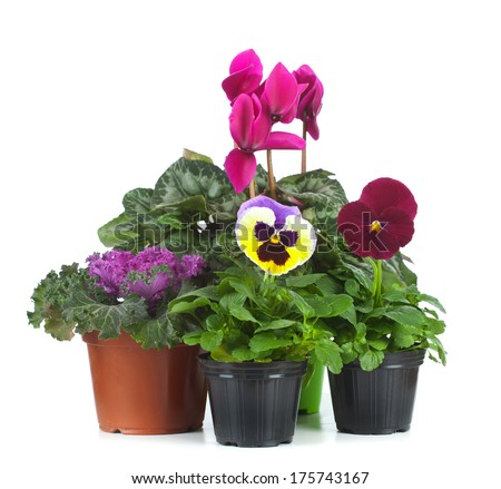 Group of seedlings, ornamenta cabbage, cyclamen, kalanchoe blossfeldiana and Pansy