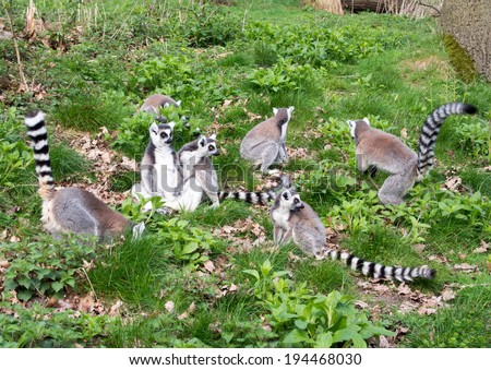 Group of seven adult lemurs foraging - stock photo