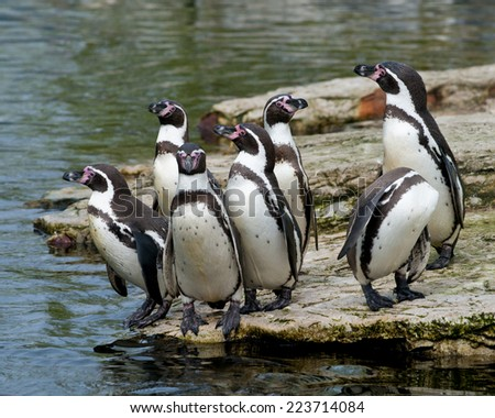 Group of seven endangered Humboldt Penguins on a rock on the edge of the water seemingly uncertain about whether to dive in. - stock photo