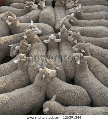 Group of sheep being transported - stock photo