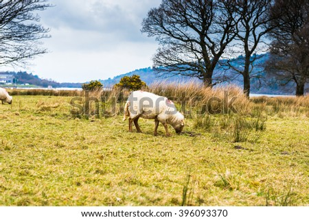 Group of sheep on a Hill in Snowdonia National Park, Wales, UK.