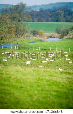 Group of sheep resting in a green field - stock photo