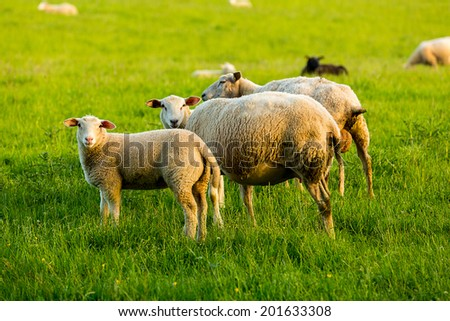 Group of sheeps on a sping meadow - stock photo