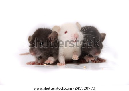 Group of small, cute, baby domesticated pet rats on a white background - stock photo