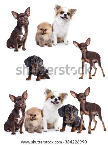 group of small decorative dog companions - stock photo